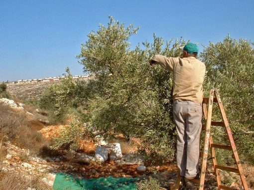 A Palestinian harvesting olives in the West Bank [copyright: Jonathan Cook]